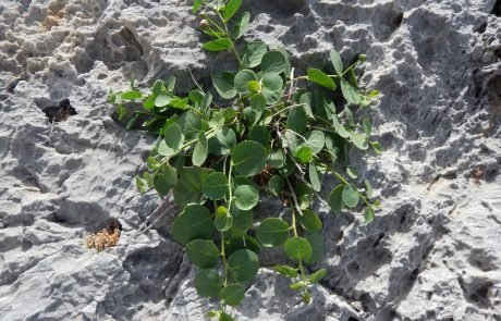 Capers - Nature and Geography Amorgos