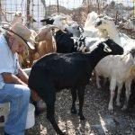 Mjölkar en get Amorgos