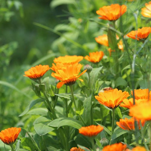 Herbs on Amorgos - Calendula - Calendula officinalis