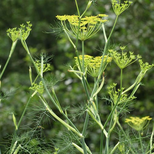 Herbs on Amorgos - Fänkål - Foeniculum Vulgare