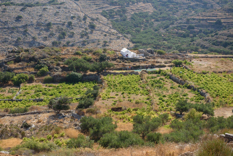 Grape Picking on Amorgos
