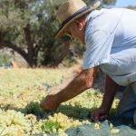 Vindruvsplockning på Amorgos