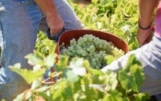 Grape Picking Amorgos