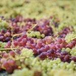 Grapes Amorgos