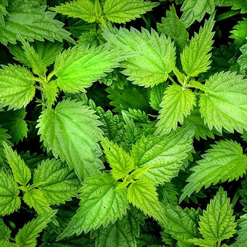 Herbs on Amorgos - Nettle - Urtica Dioica