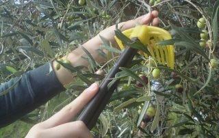 Olivplockning Amorgos