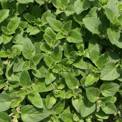 Herbs on Amorgos - Oregano - Origanum Vulgare