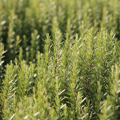 Herbs on Amorgos - Rosemary - Rosmarinus Officinalis