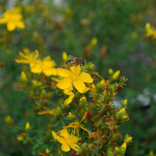 Herbs on Amorgos - Johannesört - Hypericum Perforatum