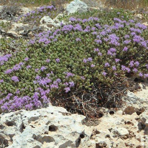 Herbs on Amorgos - Timjan - Thymus Vulgaris
