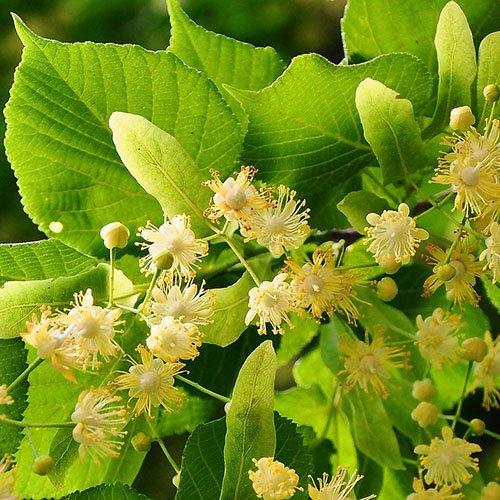 Herbs on Amorgos - Tilio - Tilia